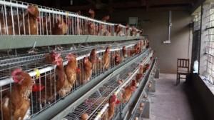 Las galinas en el Nazareth Centre produciendo huevos