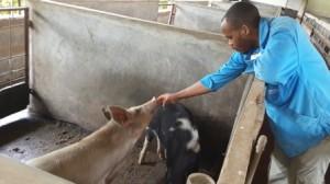 La produccion de cerdos empieza de nuevo en el  Centro