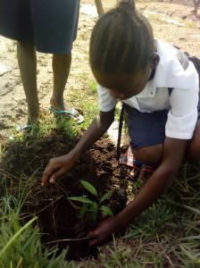 Une élève  entrain de planter un manguier